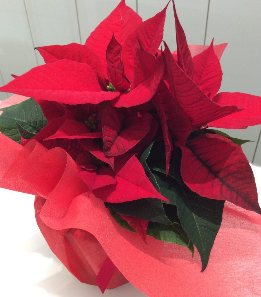 Xmasに真っ赤なポインセチアをプレゼント♡大好評のXmasブライダルフェア延長決定!