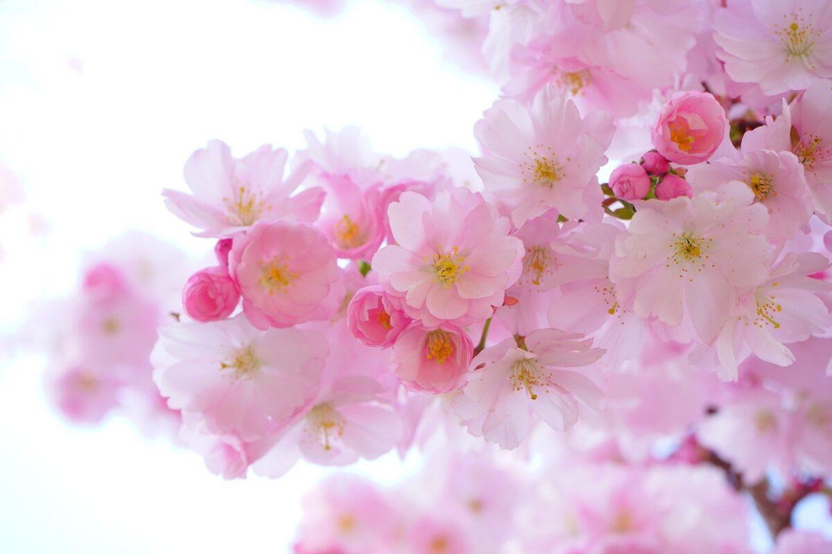 桜 イメージ